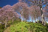 Paulownia Plantation, Spring Season, New Zealand