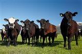 Cows, Kaikoura, Seaward Kaikoura Ranges, Marlborough, South Island, New Zealand