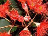 Rata Tree Blossoms, New Zealand