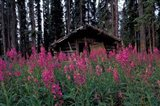 Abandoned Trappers Cabin Amid Fireweed, Yukon, Canada - your walls, your style!
