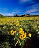 Balsamroot along the Rocky Mountain Front, Waterton Lakes National Park, Alberta, Canada - your walls, your style!
