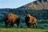 Bison bulls, Waterton Lakes NP, Alberta Canada - your walls, your style!