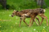 Canada, Alberta, Waterton Lakes NP, Mule deer fawns - your walls, your style!
