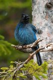 Canada, Alberta, Waterton Lakes NP, Stellar's Jay - your walls, your style!