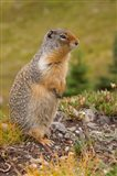 British Columbia, Banff NP, Columbian ground squirrel