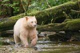 British Columbia, Princess Royal Island, Spirit Bear