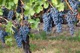 Canada, British Columbia, Osoyoos View of purple grapes in vineyards