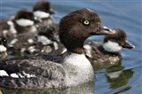Barrow's Goldeneye Female with Chicks, Lac Le Jeune, British Columbia, Canada - your walls, your style!