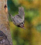 British Columbia, Red-naped Sapsucker, flight, nest