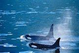 Killer Whales feeding in Johnstone Strait, British Columbia, Canada