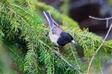 British Columbia, Dark-eyed Junco bird in a conifer