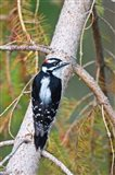 British Columbia, Downy Woodpecker bird, male (back view)