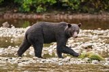 Grizzly bear fishing for salmon in Great Bear Rainforest, Canada