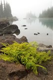 Alpine lady fern, Garibaldi Lake, British Columbia