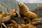 Steller sea lion, Queen Charlottes, British Columbia