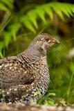Blue grouse bird, Salt Spring Isl, British Columbia