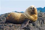 Steller sea lion, Haida Gwaii, British Columbia