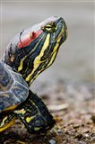 Red-eared pond slider turtle, British Columbia