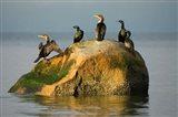 Double-crested cormorant bird, British Columbia