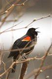 Red-winged blackbird, Stanley Park, British Columbia