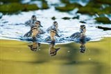Mallard ducklings, Stanley Park, British Columbia