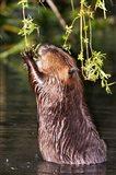 American Beaver, Stanley Park, British Columbia
