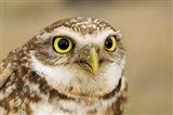 Burrowing owl, Nicola Valley, British Columbia