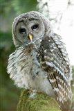 Juvenile barred owl, Stanley Park, British Columbia