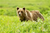 Grizzly bear, Sacred Headwaters, British Columbia