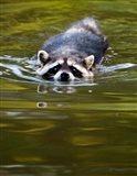Common Raccoon, Stanley Park, British Columbia