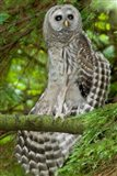Barred owl, Stanley Park, British Columbia