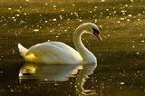 Mute swan, Stanley Park, British Columbia