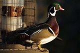 Wood Duck Drake, George C Reifel Migratory Bird Sanctuary, Westham Island, British Columbia, Canada