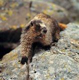 British Columbia, Yoho NP, Hoary marmot