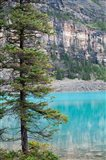 Pine tree, Moraine Lake, Banff National Park, Canada