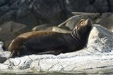 Sea Lions, Batley Island, Pacific Rim, British Columbia