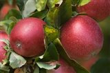 Apples, Okanagan Valley, British Columbia, Canada, Na - your walls, your style!