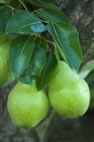Bartlett Pear, Okanagan Valley, British Columbia, Canada, Na - your walls, your style!
