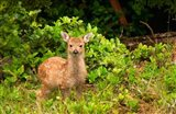 Fawn, Sitka Black Tailed Deer, Queen Charlotte Islands, Canada
