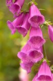 Fox Glove Blooms, Queen Charlotte Islands, Canada