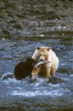 Sow with Cub Eating Fish, Rainforest of British Columbia