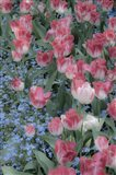 Spring Tulips of Red and White Color, Victoria, British Columbia, Canada