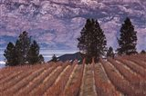 Vineyard and lake, West Kelowna, Okanagan Valley, British Columbia, Canada