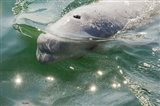 Beluga Whale in Canada