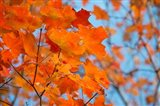 Colorful Maple Leaf Trees