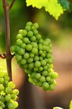 Fidal Vineyard