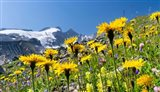 Rough Hawkbit, Zillertal Alps