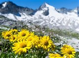 Doronicum Flowers, Nationalpark Hohe Tauern
