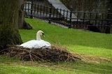 Belgium, Nesting Swans