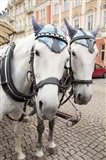 Czech Republic Horses On Cobblestone Karlovy Vary Street